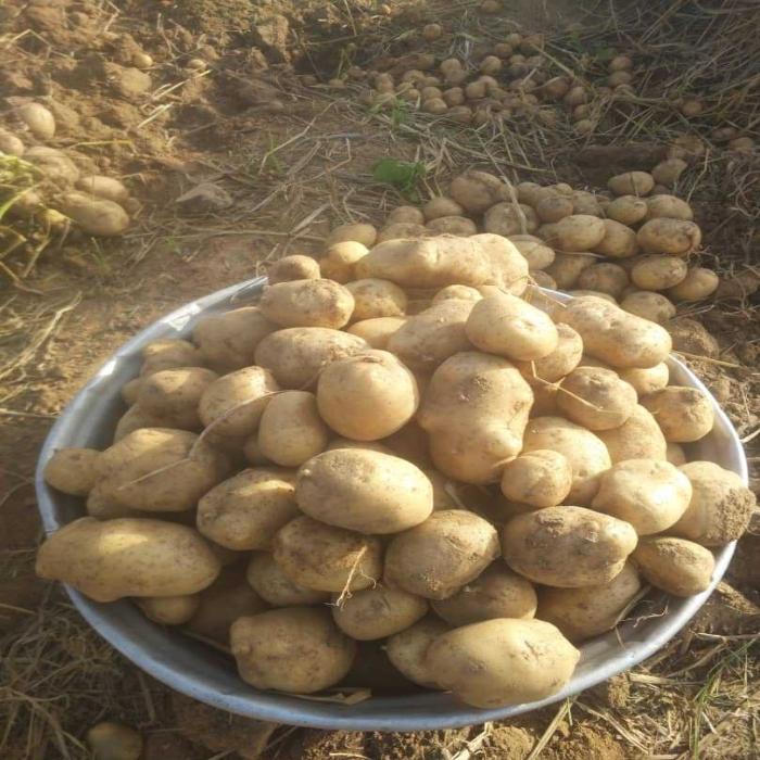 Activités du centre de recherche agronomique de la savane humide (CRA-SH) : Des travaux d'amélioration variétale de l'igname et de la pomme de terre au Togo.