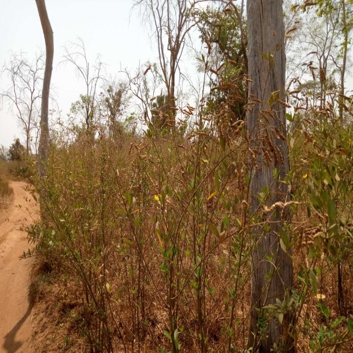 Pois d'Angole/ Région centrale du Togo