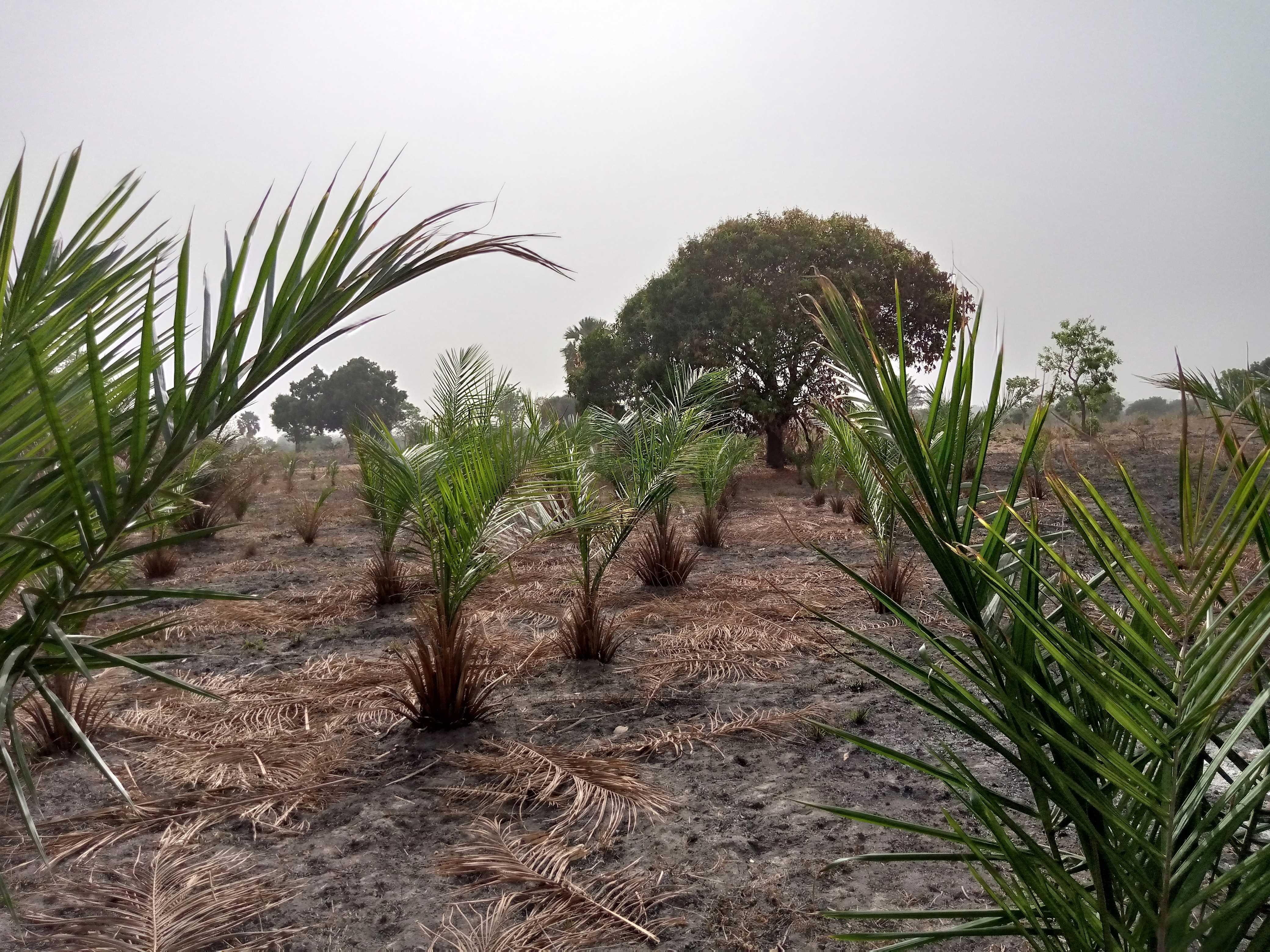 Plantation des palmiers