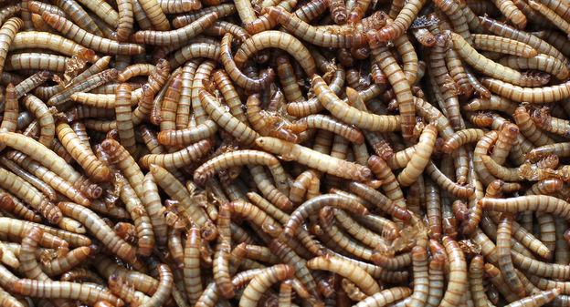 L'engrais à base d'insectes de Ÿnsect, une première mondiale
