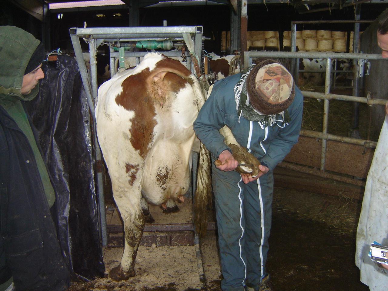 La santé des pieds en élevage laitier