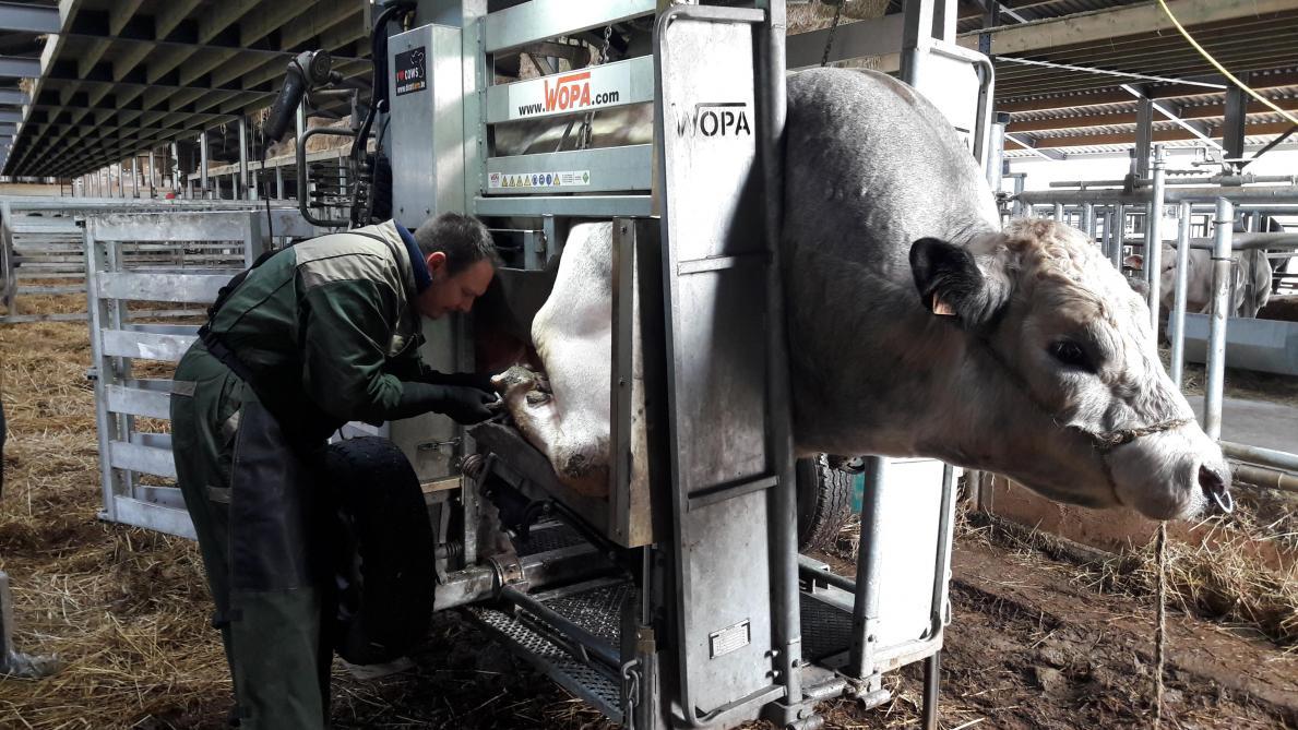 Les principales causes des boiteries en élevage laitier