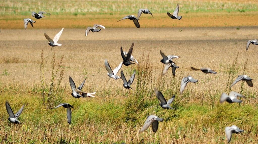 Dégâts d'oiseaux sur tournesol: Les méthodes de lutte