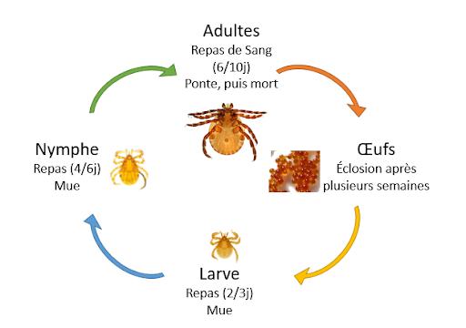 Le cycle de vie des tiques