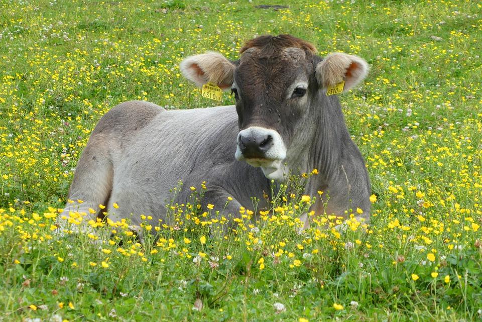 Les tiques chez les bovins: Lutte chimique et écologique