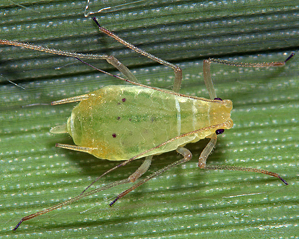 Metopolophium dirhodum ou puceron des feuilles de graminées