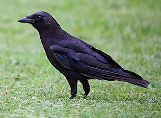 Stimuler la culture des maïs face aux attaques d'oiseaux