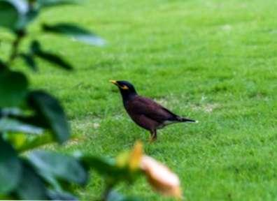 Quels sont les signes de dégâts causés par les oiseaux sur le maïs ?