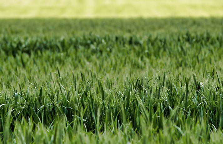 Nouveau mode d'action herbicide à venir, contre vulpins et ray-grass résistants