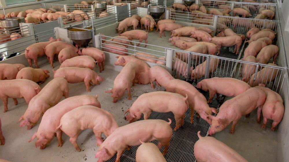 Un vaccin contre la peste porcine africaine améliore les chances de survie