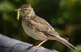 Oiseaux des champs en voie d'extinction?