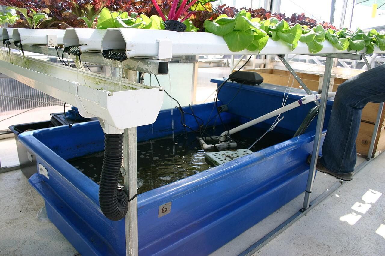 Aquaponie : les poissons en-dessous, les plantes au-dessus