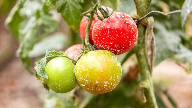 Inconvenients des pesticides Bio ( sulfate de cuivre)