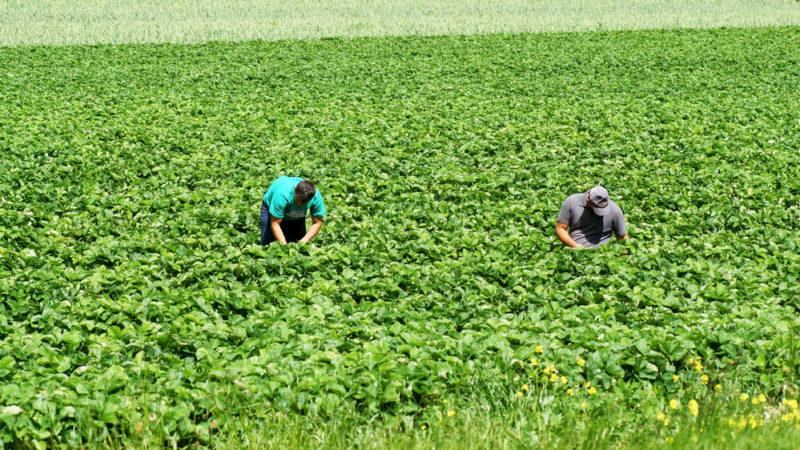 Comment débarasser l'agriculture du glyphosate