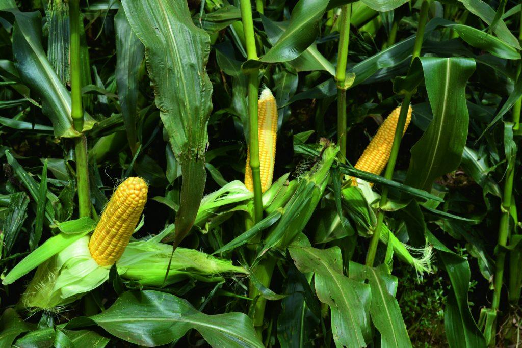 Le maïs doux pousse en Aquitaine