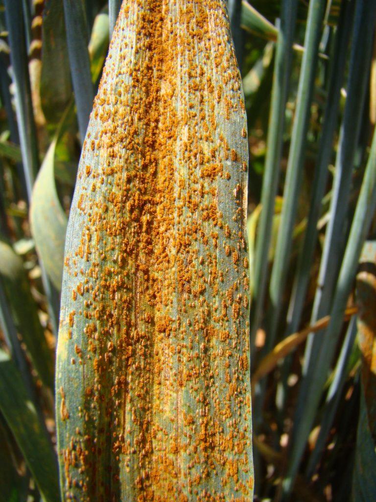 La fusariose du blé