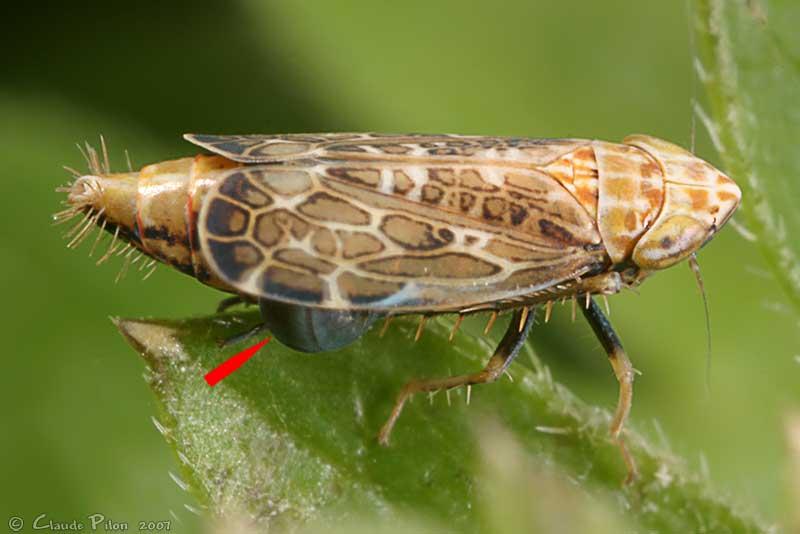 La cicadelle du blé