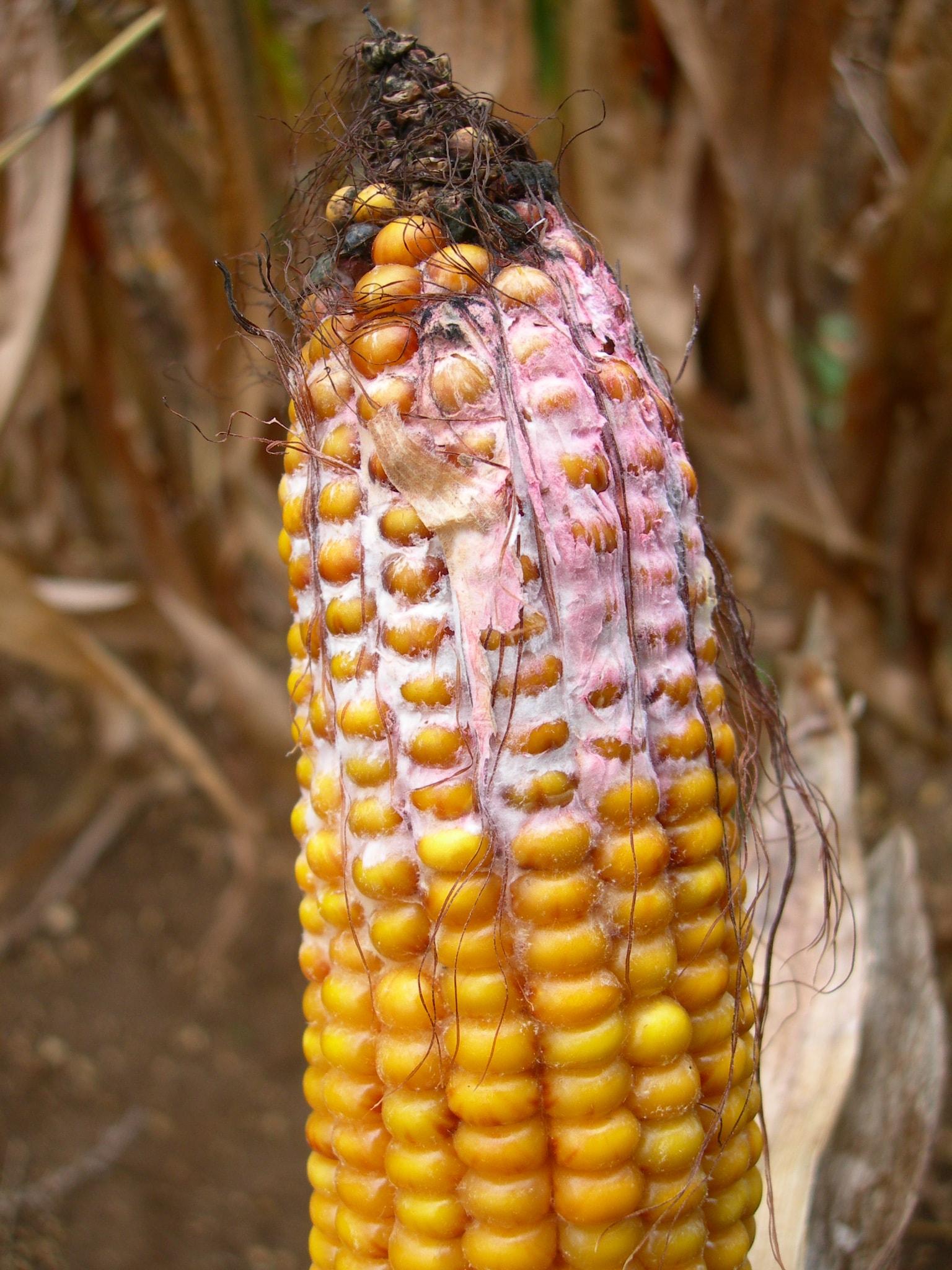 Les ravageurs du maïs: La fusariose