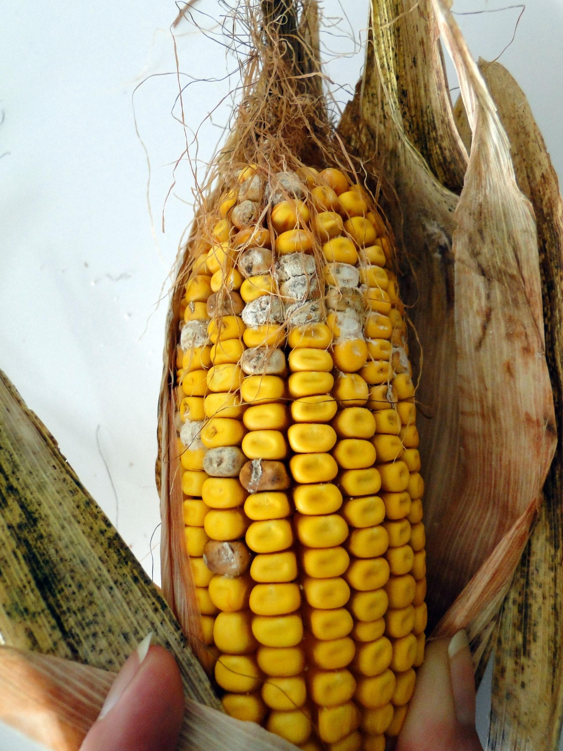 Fusariose sur épi de maïs (F. section liseola)
