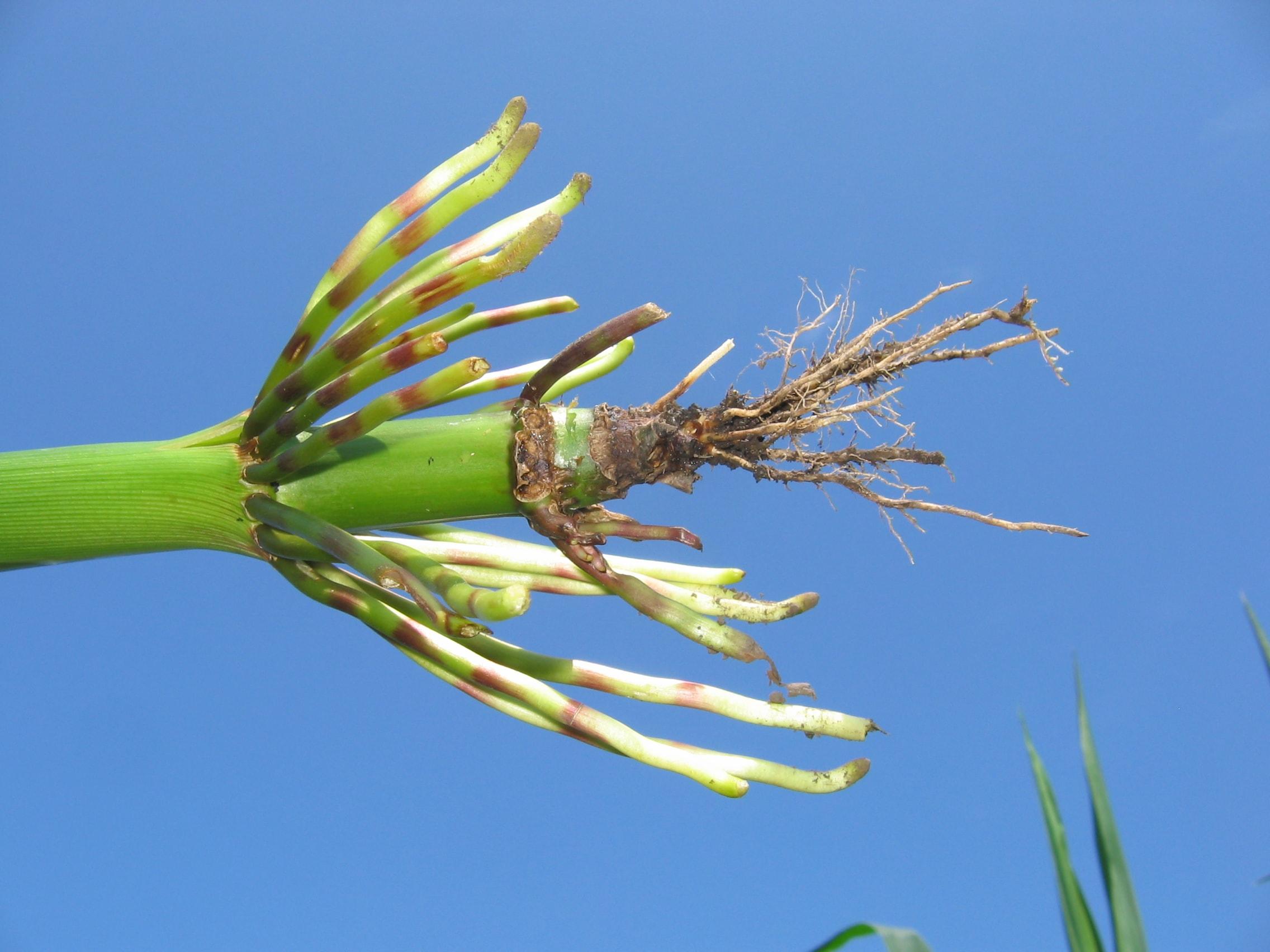 Rhizoctone sur maïs