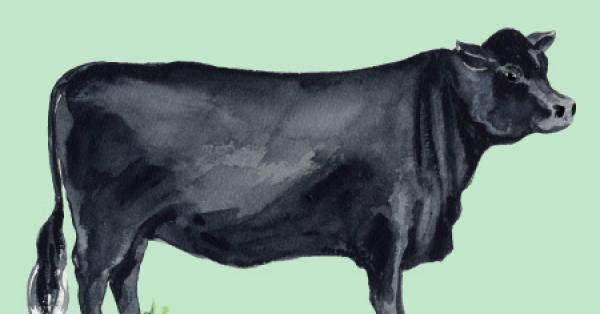 L'angus ou Aberdeen-Angus, une race bovine impliquée dans plusieurs croisements: Origine