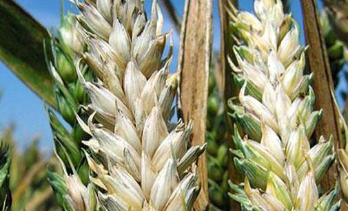Attention au risque de fusariose autour de la floraison, sur les plantes de blé