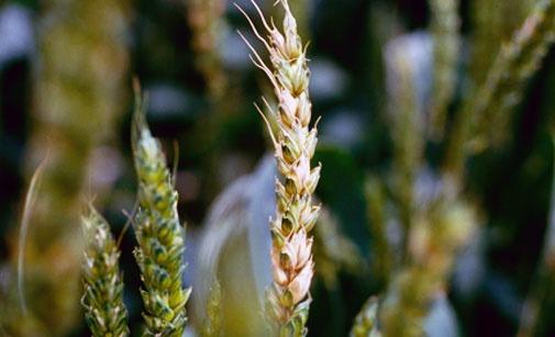 Les symptômes de la fusariose sur le blé