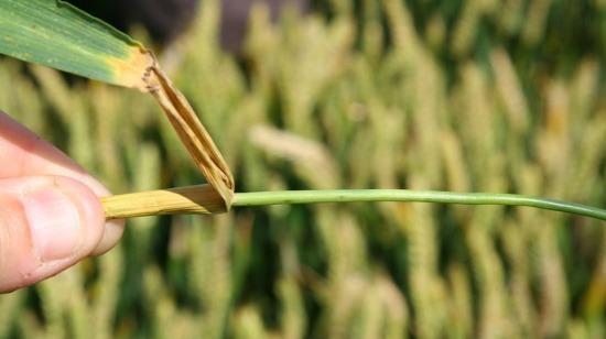 Fusariose du blé - Fusarium roseum | Syngenta France