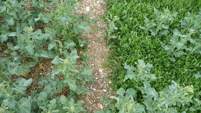 Herbicides colza BASF vient d'obtenir l'homologation d'Anitop et Polaire
