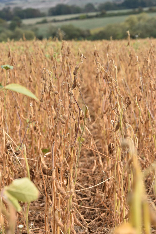 Comment gérer une bonne qualité sanitaire de la production de graines de soja ?