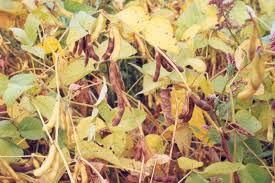 Respecter la récolte du soja : récolter ni trop vite, ni trop haut