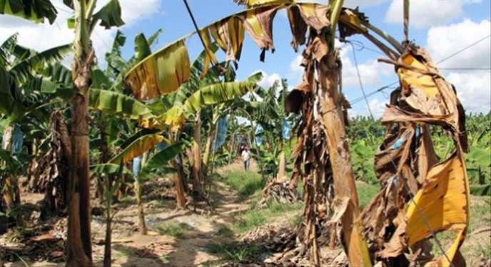 Innovation: Tumaini, une application pour détecter les maladies du bananier