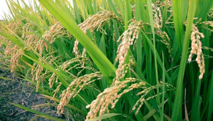 La filière riz en Côte d'Ivoire: Une filière malade qui a l'ambition de parvenir à l'autosuffisance en 2025.