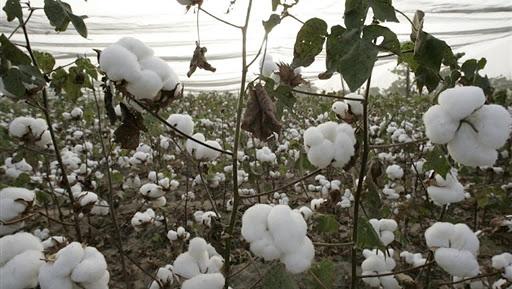Le prix au producteur de coton au Mali pour la campagne 2020/2021 est connu