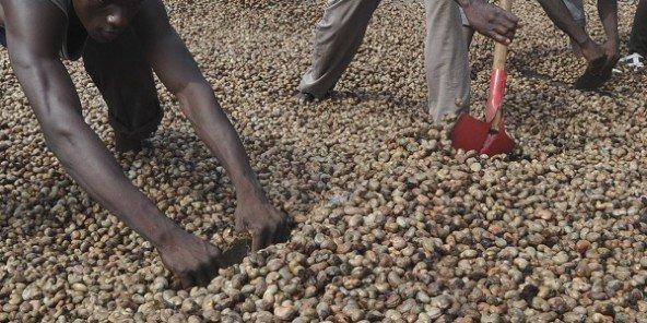Le covid-19 n'épargne pas la filière anacarde au Sénégal