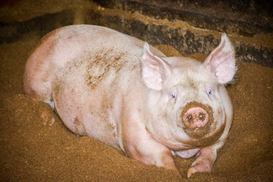 Alerte maladies animales: Le Togo prend des mesures contre la peste porcine africaine