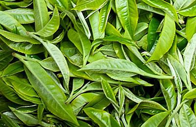 Malgré les perturbation du marché mondial du thé, la filière au Rwanda présente une bonne performance
