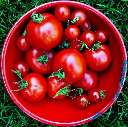 Tomato Jos au Nigéria s'efforce d'augmenter les rendements et les revenus des petits producteurs de tomates locaux