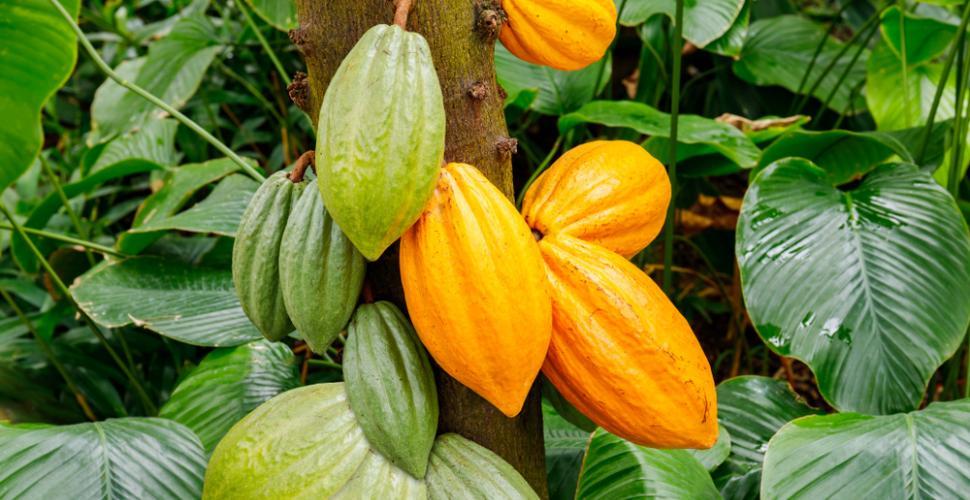 Chronique des matières premières agricoles: Le cacao au 21 mai 2020