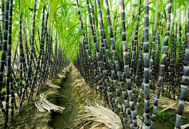 Chronique des matières premières agricoles: Le sucre au 21 mai 2020