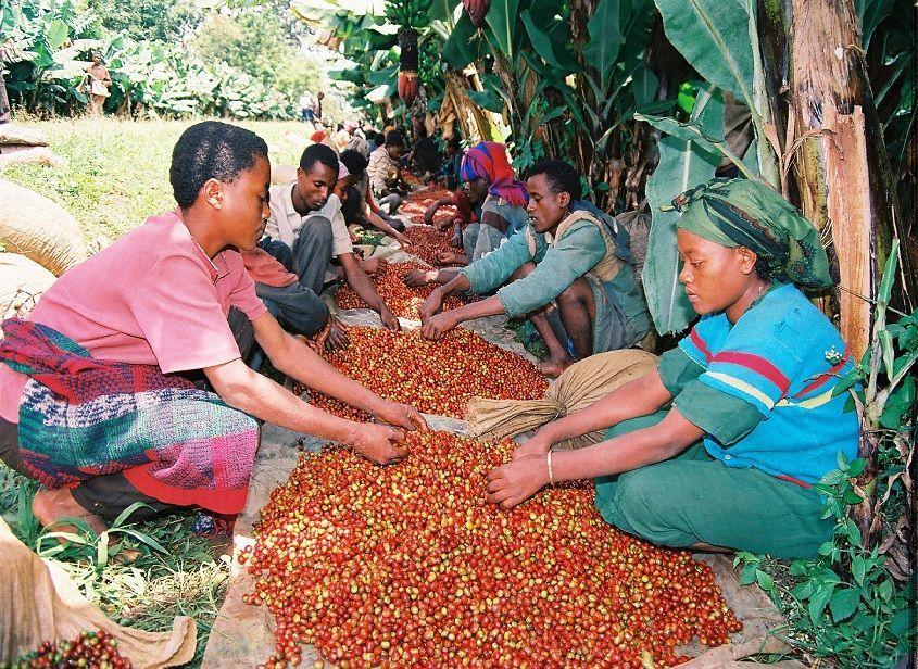 Impact du changement climatique sur la filière café en Éthiopie d'ici 2025.