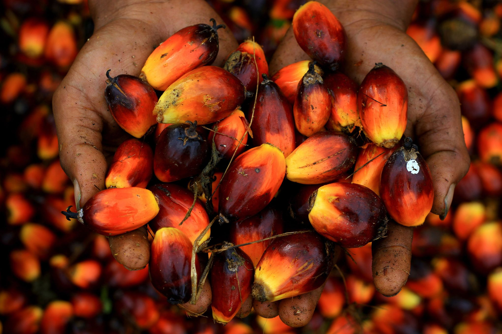 L'huile de palme au Libéria: Les effets du ralentissement du marché dû à la covid-19 se font sentir