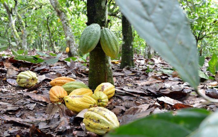 Le travail des enfants dans le cacao: La  Côte d'Ivoire et le Ghana rejettent le rapport américain