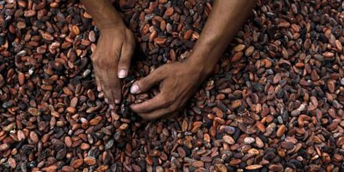 Telcar Cocoa de Cargill veut assurer une traçabilité complète du cacao camerounais