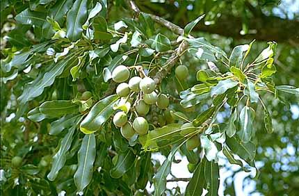 L'arbre de karité peut cultiver une résilience au changement climatique  en Afrique de l'Ouest ?