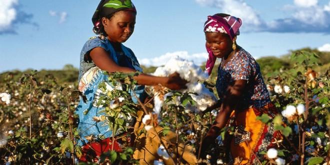Au Burkina Faso, la filière coton se redresse légèrement