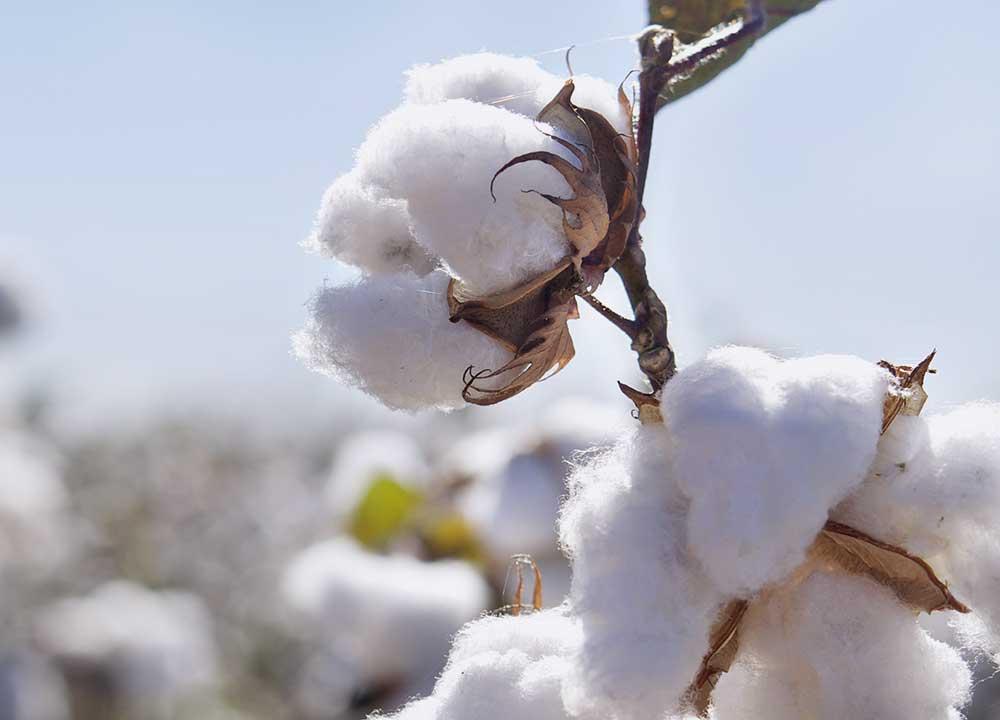 Filière coton au Burkina Faso: Le prix du coton premier choix fixé pour la campagne 2020-2021