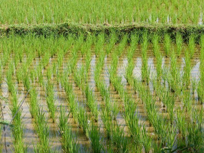 L' Afrique de l'Ouest est-elle loin de l'autosuffisance en riz malgré l'augmentation des superficies de production?