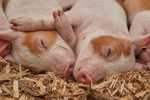 Maladies animales: Les incidences de la peste porcine africaine dans l'Etat de Lagos au Nigeria