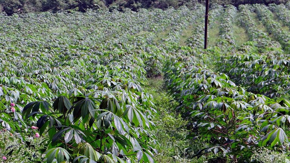 LUTTER CONTRE LES ADVENTICES DANS LA CULTURE DE MANIOC POUR OPTIMISER LA CROISSANCE DES PLANTS